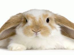 El conejo Belier.