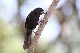 Frutero Negro - Tachyphonus Rufus