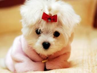 o perrito