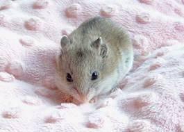 Ratoncito bebe