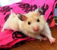hamster 8
