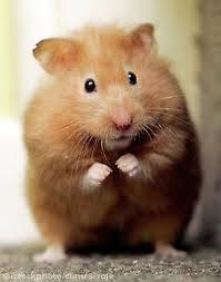 hamster 9