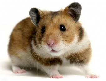 hamster marron
