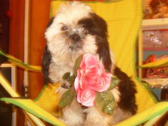 oreo¡¡¡¡¡¡  https://www.facebook.com/pages/Oreo-Shih-Tzu/211498295566080