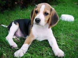 cachorro beaggle