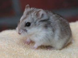 Hamster con correa