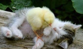 gatiito y pollito